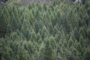 Christmas Tree Farm pic by Bill Abbott