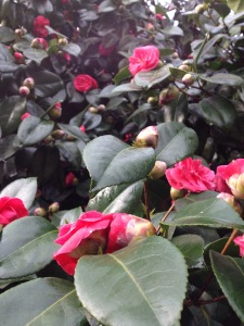 Camellia trees in bloom Aimee Cartier blog