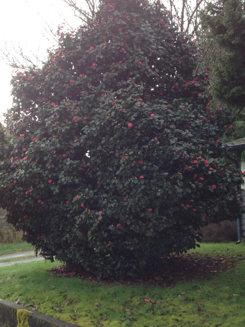 This morning's beauty: Camellia tree in bloom.