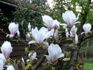 PNW Tulip Tree Aimee Cartier blog